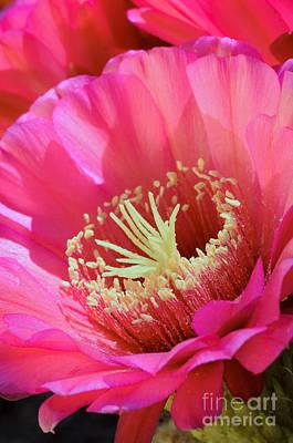 Photograph - Pink Night Blooming Cactus by Tamara Becker