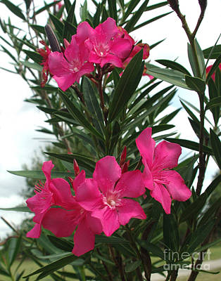 Photograph - Pink Oleander In Full Bloom by Peter Piatt