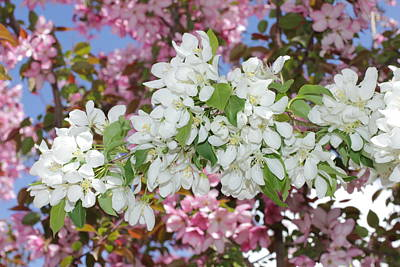 Photograph - Pink On White Crabapple Blossoms by Donna Munro