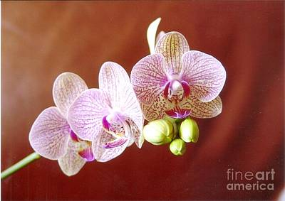 Photograph - Pink Orchid 1 by Rod Ismay
