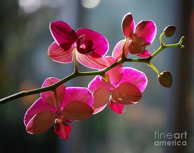 Orchids Digital Art - Pink Orchid Branch by Nancy Mueller