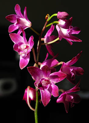 Photograph - Pink Orchid by Eva Csilla Horvath