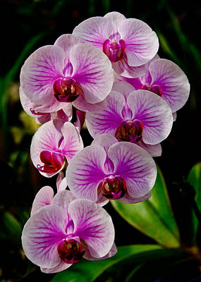 Photograph - Pink Orchid by Jennifer Kano