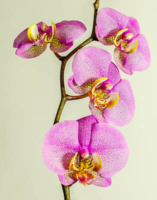 Photograph - Pink Orchid by Nick Field