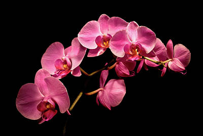 Photograph - Pink Orchids 3 by  Onyonet  Photo Studios