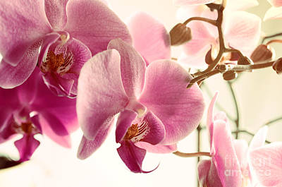 Unicorn Dust - Pink Orchids and Warm Sunlight by Sabine Jacobs