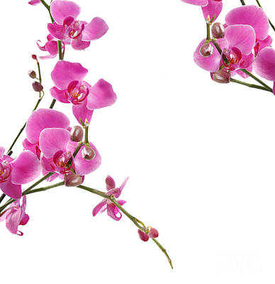 Pink Orchids Art Print by Boon Mee