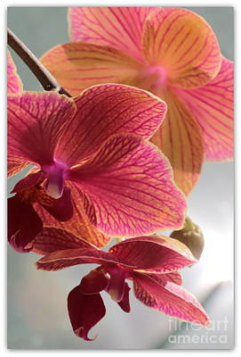 Pretty Orchid Photograph - Pink Orchids by Carol Groenen