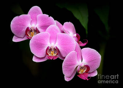 Photograph - Pink Orchids In A Row by Sabrina L Ryan