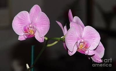 Photograph - Pink Orchids by Rod Ismay