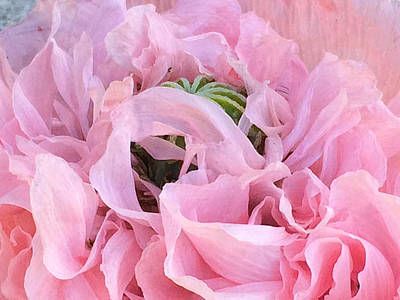 Photograph - Pink Oriental Poppy Macro by Peggy Collins