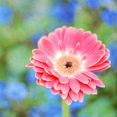 Photograph - Pink Painted Daisy by Cathie Richardson