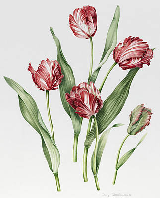 Pink Tulip Painting - Pink Parrot Tulips by Sally Crosthwaite