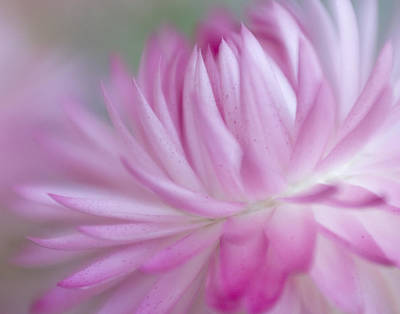 Strawflower Photograph - Pink Passion by David and Carol Kelly
