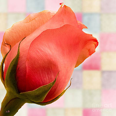 Photograph - Pink  Patchwork Rose by Sandra Clark