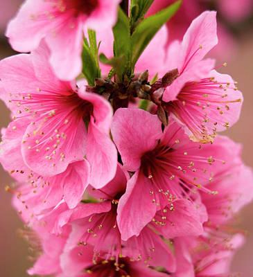 Pink Peach Blossoms Close-up Macro Art Print