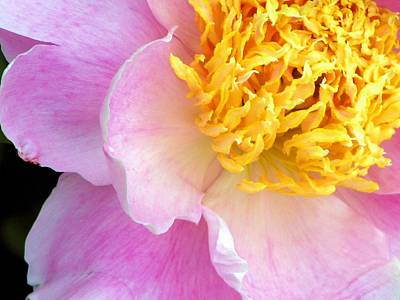 Photograph - Pink Peone by Chris Anderson