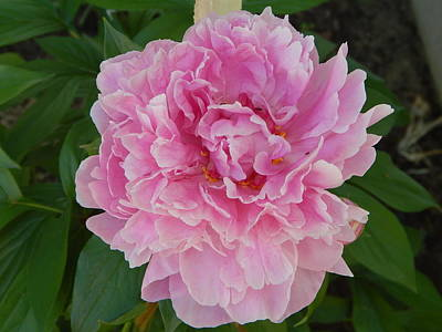 Photograph - Pink Peony by Carol L Miller