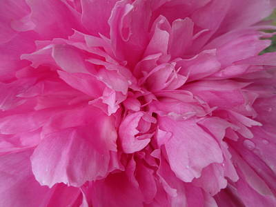 Photograph - Pink Peony by Diannah Lynch