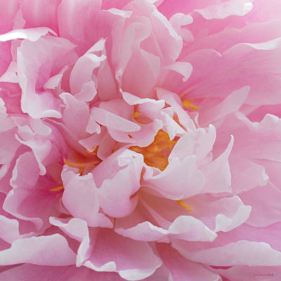 Pink Peony Flower Waving Petals  Art Print