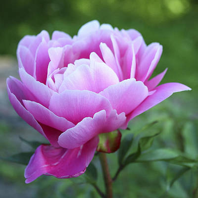 Farm House Style - Pink Peony by Ingrid Smith-Johnsen