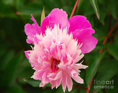 Art Print featuring the photograph Pink Peony by Mary Carol Story