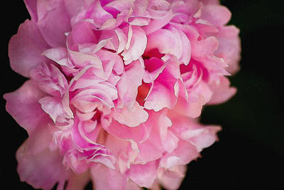 Beastie Boys - Pink Peony by Pati Photography