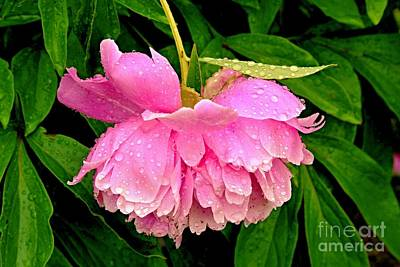 Photograph - Pink Peony Raindrops by Margaret Newcomb