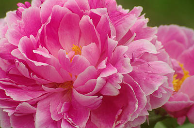 Art Print featuring the photograph Pink Peony by Suzanne Powers
