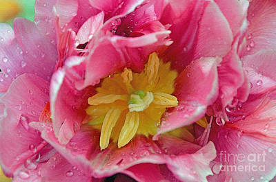 Digital Art - Pink Peony Tulip With Raindrop by Eva Kaufman