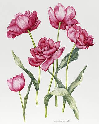 Pink Peony Tulips Art Print