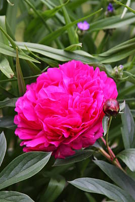 Art Print featuring the photograph Pink Peony by Vadim Levin