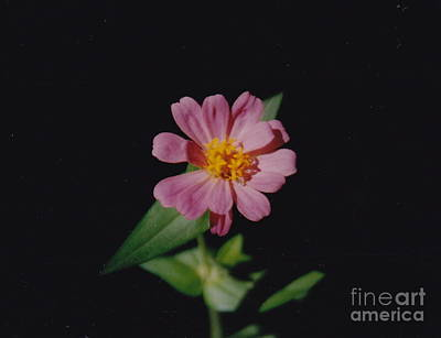 Photograph - Pink Perfection by Barbara Plattenburg