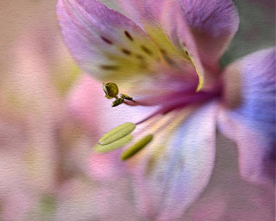 Photograph - Pink Peruvian Lily by Ann Bridges