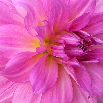 Photograph - Pink Petals 2 by Marianne Dow