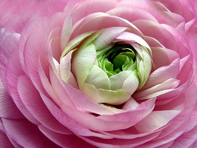 Ranunculus Photograph - Pink Petticoat  by Jessica Jenney