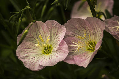 Photograph - Pink Petticoats by Wayne Meyer