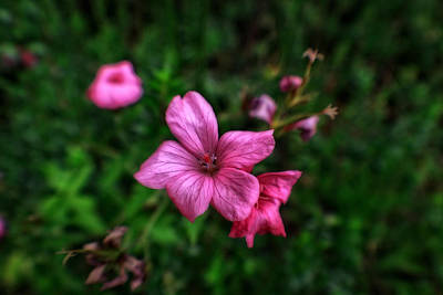 Photograph - Pink Petunias by Doc Braham