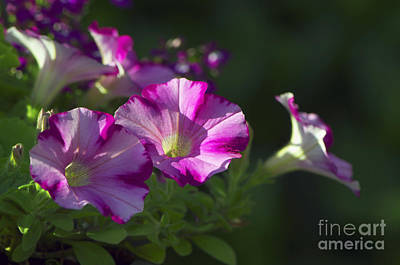 Photograph - Pink Petunias by Sharon Talson