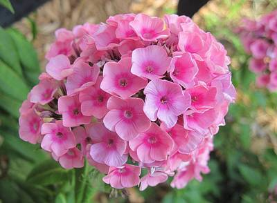 Photograph - Pink Phlox 2 by Doug Morgan