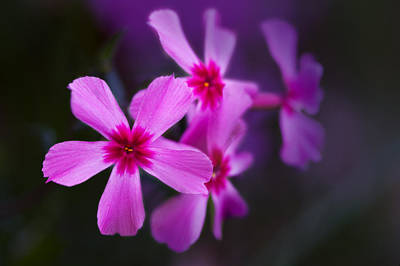 Photograph - Pink Phlox Macro by Melinda Fawver