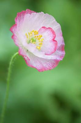 Shirley Photograph - Pink Picotee Shirley Poppy by Maria Mosolova