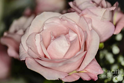 Photograph - Pink Pink Rose by Elvis Vaughn