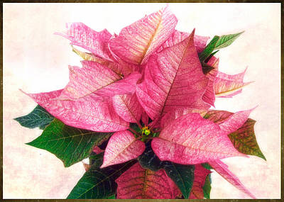 Photograph - Pink Poinsettia by Louise Kumpf