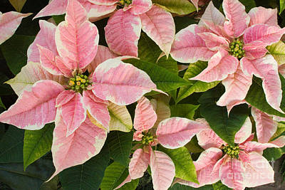 Photograph - Pink Poinsettias Flowers by Chris Scroggins