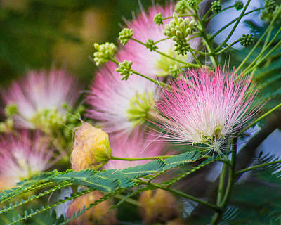 Mimosa Flowers Photograph - Pink Pom Poms by Bill Pevlor