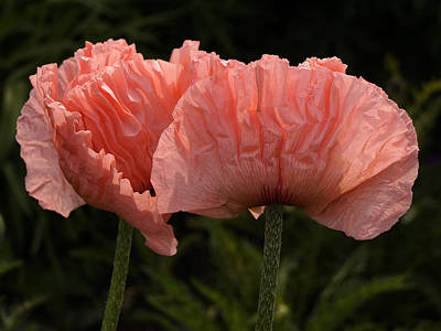 Photograph - Pink Poppies by Inge Riis McDonald