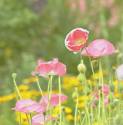 Pink Poppies Original