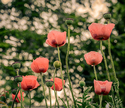 Photograph - Pink Poppy In Late Everning Light by Ludmila Nayvelt