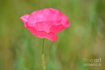 Photograph - Pink Poppy by P S